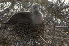 Bird-of-the-Galapagos-4