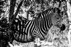 Black-and-White-Zebra-1
