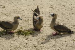 Birds-of-the-Galapagos-5