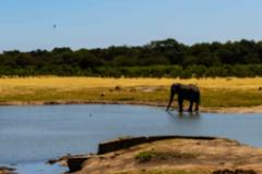 Elephants-in-The-Savannah-1