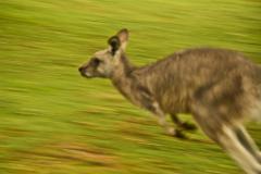Kangaroos-can-really-move-1